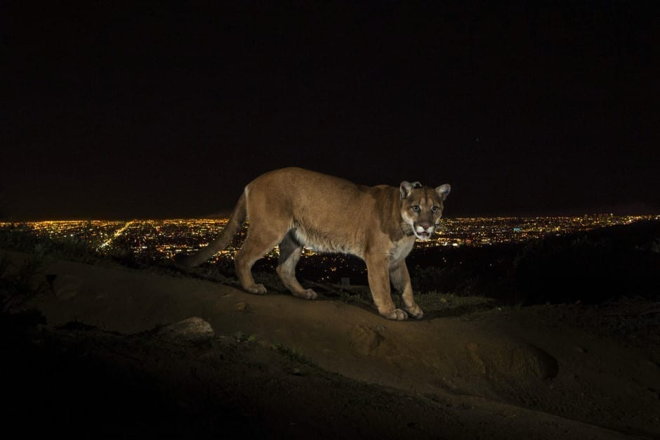 1st Prize Nature Stories: A cougar walking a trail in Los Angeles' Griffith Park is captured by a camera trap. To reach the park, which has been the cougar's home for the last two years it had to cross two of the busiest highways in the US © Steve Winter, USA, for National Geographic