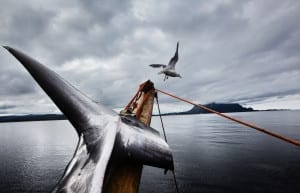 Hunting whale on the Jan Bjorn in Lødingen, Lofoten, Norway; from Marcus Bleasdale's story Last of the Vikings, which has won third prize in contemporary issues stories at the 2014 World Press Photo. Image © Marcus Bleasdale.