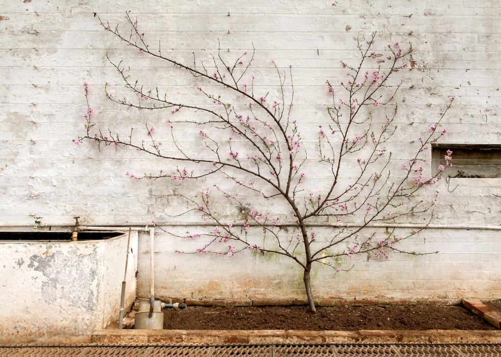 Nectarine blossom in the glasshouse, Tyntesfield, from Garden Stories © Amanda Harman, UK, 2014 Sony World Photography Awards