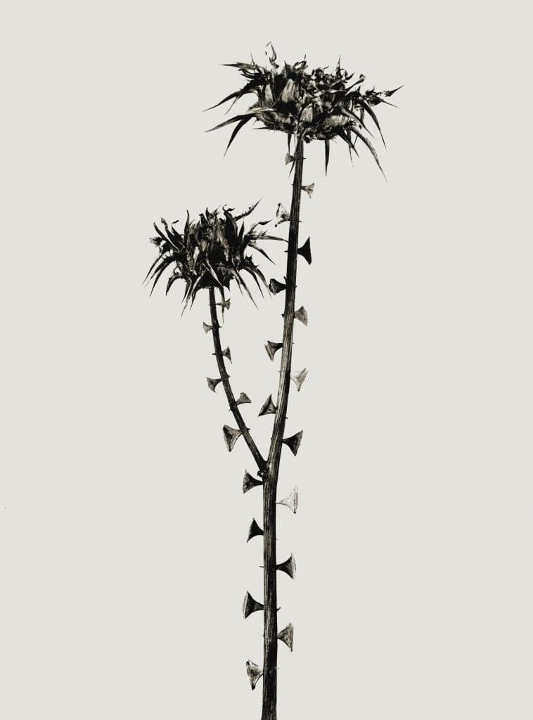 Braohypoda Frustrata from the Herbarium series by Joan Fontcuberta, 1984 (c) Joan Fontcuberta