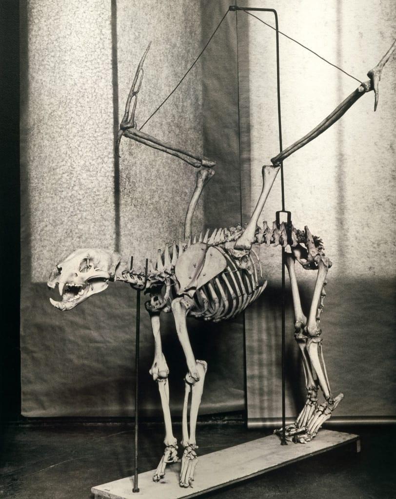 Cercophitecus Icarocornu, 1985, from the Fauna series (c) Joan Fontcuberta