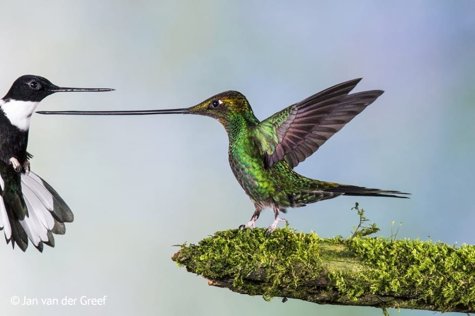Touché, a finalist in the Birds category (c) Jan van der Greef, courtesy of Wildlife Photographer of the Year