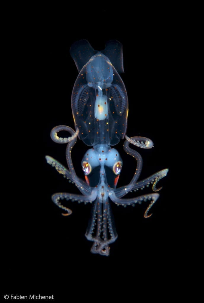 Little squid, a finalist in this year's Underwater Species category (c) Fabien Michenet, courtesy Wildlife Photographer of the Year 2014