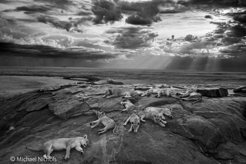 Titled The last great picture, this photograph won the Black and White category and was named the Overall Winner of the Wildlife Photographer of the Year. Image (c) Michael 'Nick' Nichols