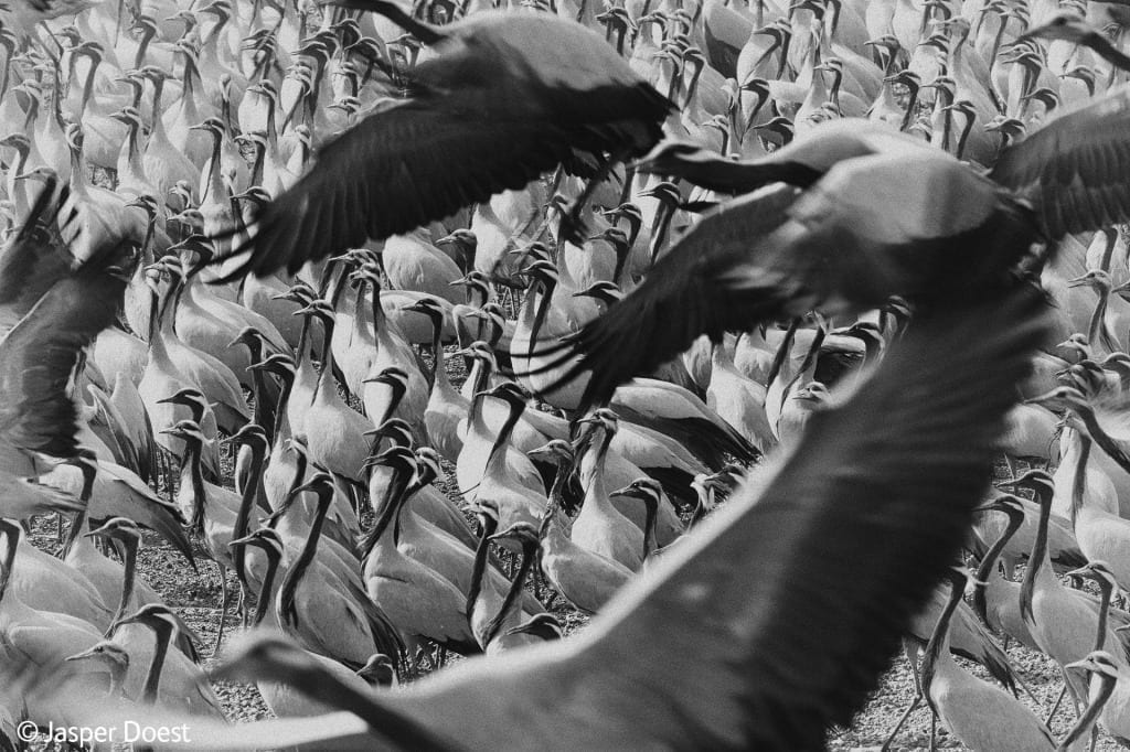 Demoiselle Crane, a finalist in Black and White (c) Jasper Doest, courtesy of Wildlife Photographer of the Year