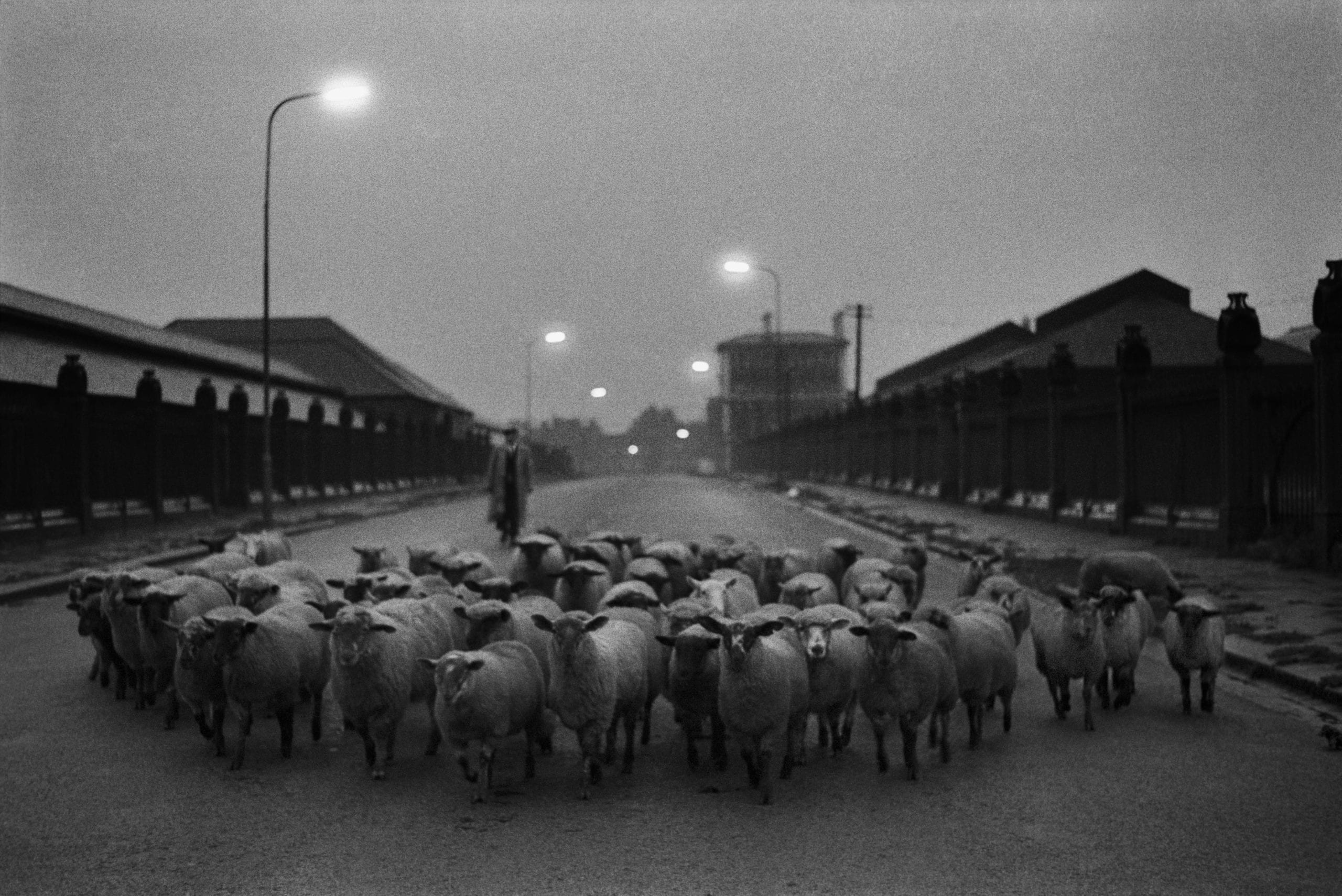 Sheep going to the Slaughter, Early Morning, Near the Caledonian Road, London, 1965 © Don McCullin
