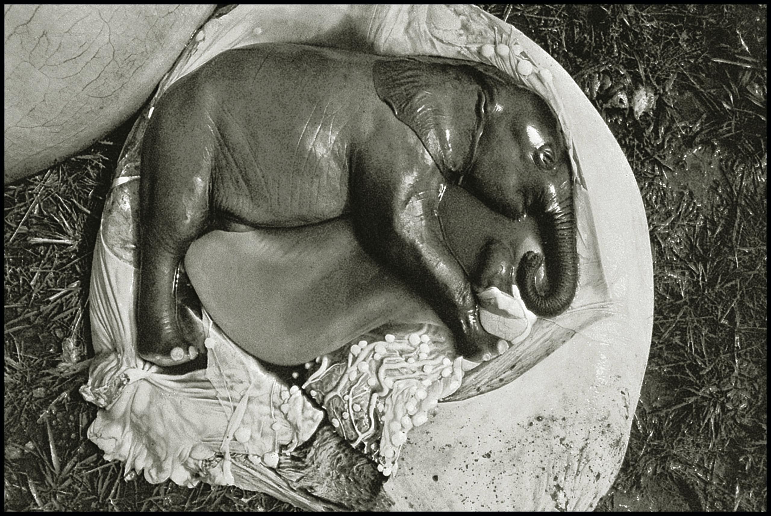 Ele Embryo, Uganda, 1966