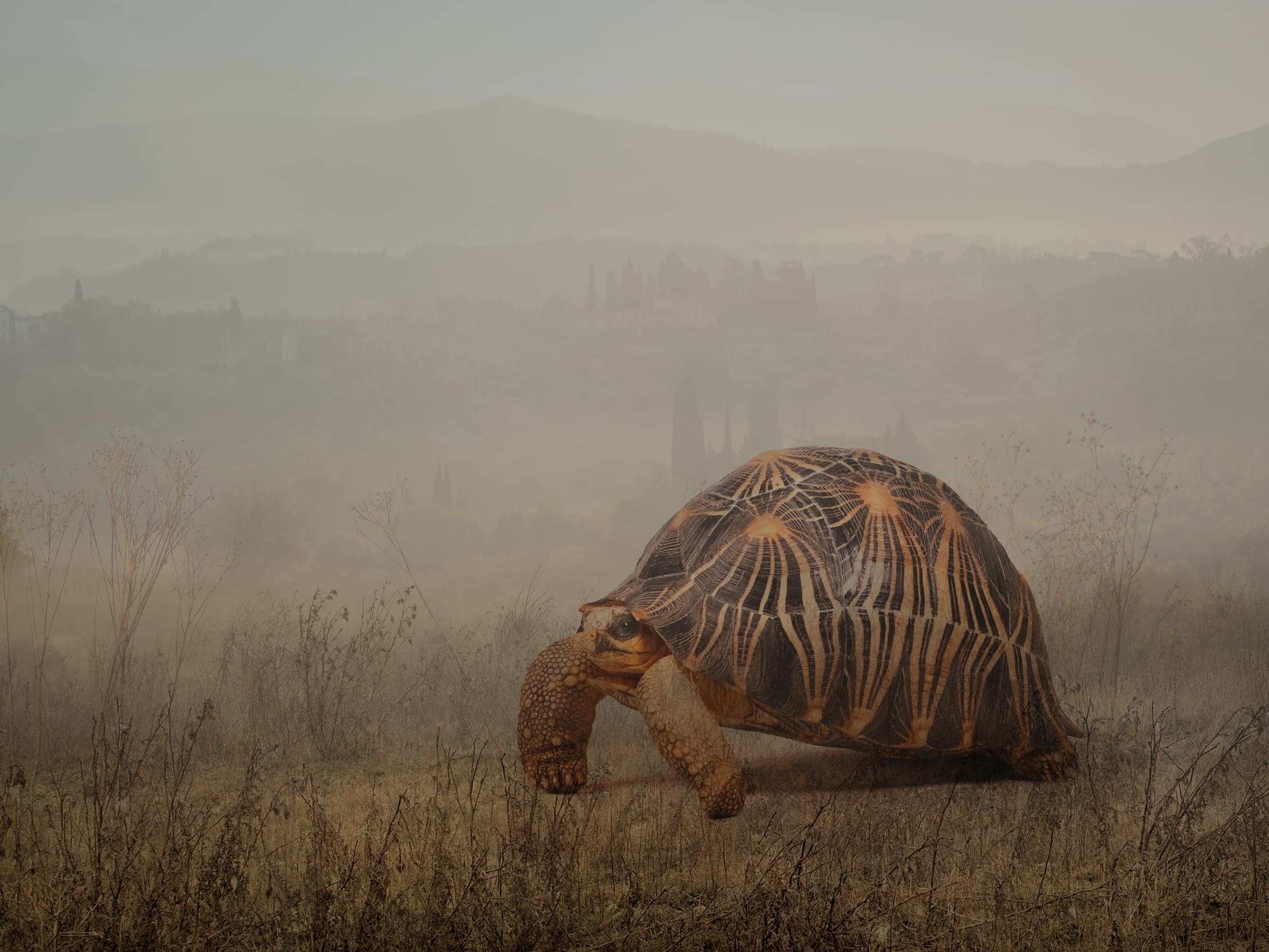 Leonardo_radiated tortoise copy