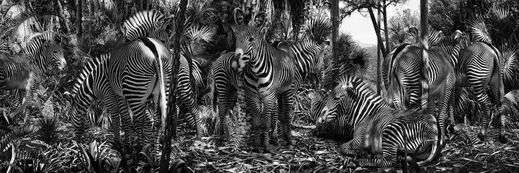 """""""I photographed the zebras at San Diego Zoo and the foliage in Florida and Bali. I like the artificial logic here, with the zebras camouflaged by foliage as if that's why zebras are striped. In reality they inhabit grasslands of eastern and southern Africa, so the image shifts the logic. Reality is a bit like that – things make sense and we take things for granted, but as soon as we start questioning our reality it crumbles and we realise everything is not how it appears. Camouflage is a recurring theme in my work. It appeals to me because it's nature's way of confusing the things we see. Our desires, fears, memory, senses, culture, media, and more cloud our perceptions and we tend to look to nature for authenticity, but even here we encounter illusion – from camouflage to colours and smells that confuse our senses. Nature caters well to our survival, but its objective is not for us to see or think clearly."""" Untitled #182 © Simen Johan"""