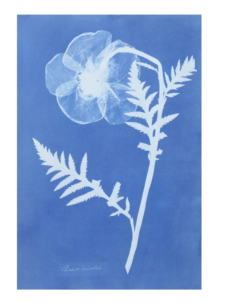 Poppy from Cyanotypes of British and Foreign Flowering Plants and Ferns, 1852-4 by Anna Atkins (1799-1871) © Victoria and Albert Museum, London