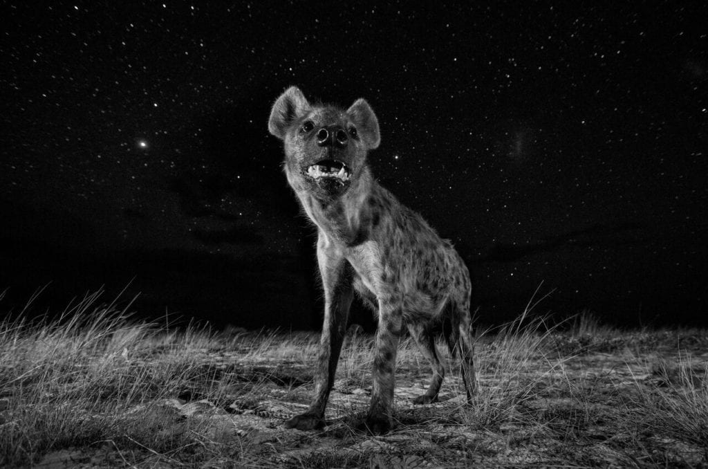 From the series 'African Wildlife at Night', 2017 © Will Burrard-Lucas, courtesy of Sony World Photography Awards